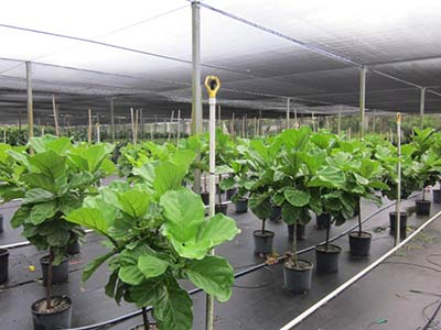 10inch Ficus Lyrata Standards Florida Grown