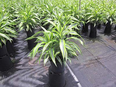 Dracaena lemon-lime grown at Consolidated Foliage